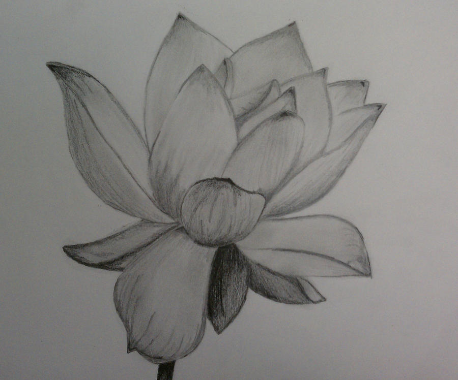 pencil of Lotus flower by 1koolwhip on DeviantArt
