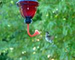 Hummingbird with a Tongue