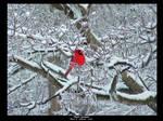 Brilliant Cardinal in Winter