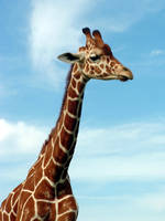 Giraffe by revack