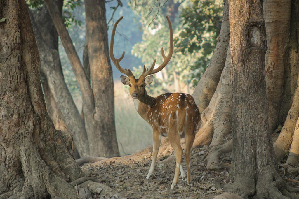 Spotted Deer by Manul4