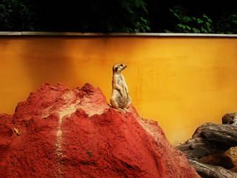 Meerkat HDR by Kruky2