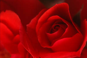red rose by augenweide