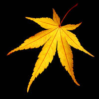 golden maple leaf by augenweide