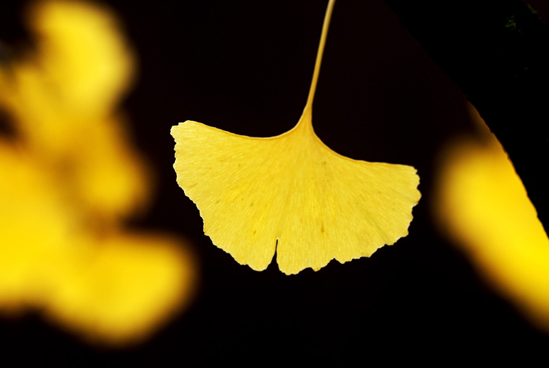 one gingko by augenweide