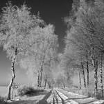 birch alley in winter