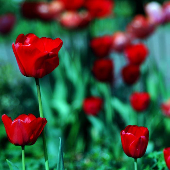 three tulips by augenweide