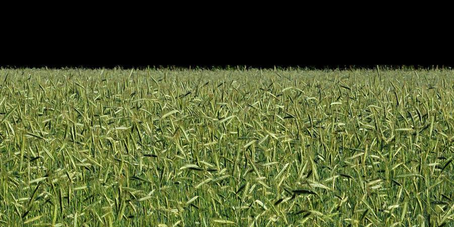 grain field by augenweide