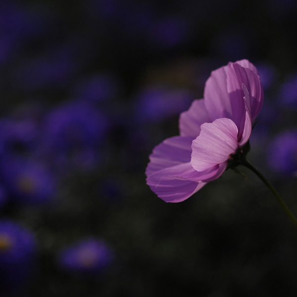 blue lilac by augenweide