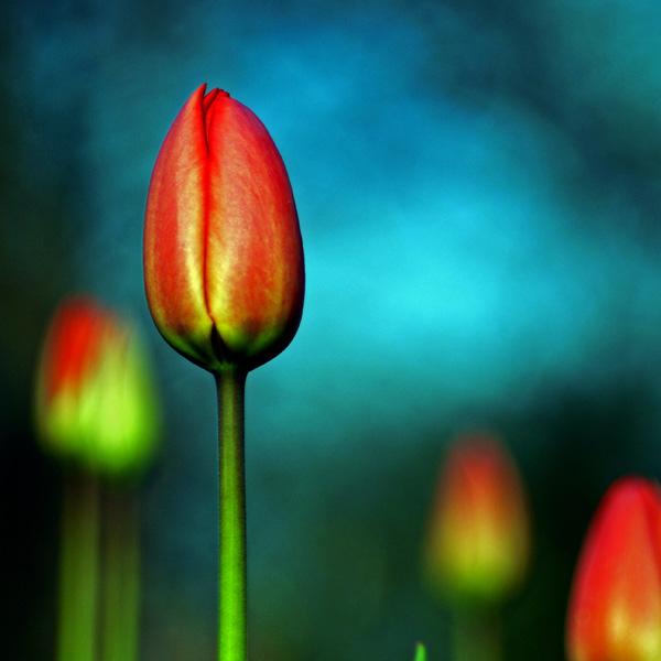 red tulip by augenweide