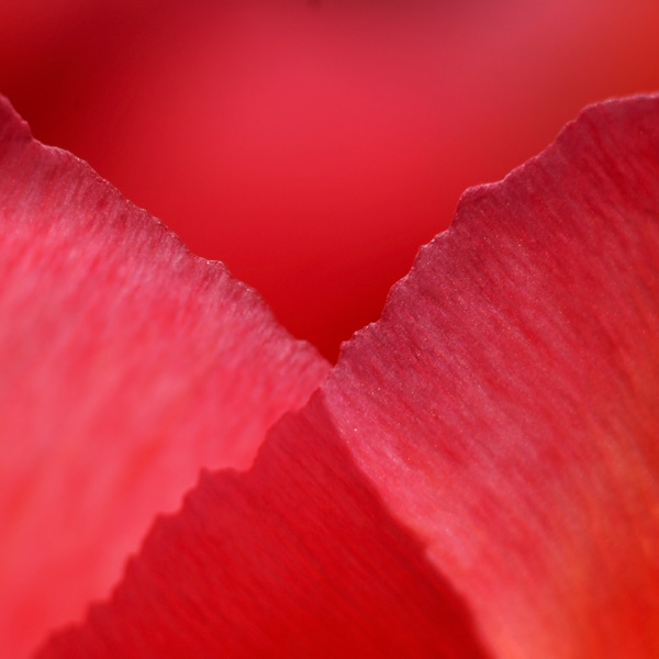 symphony in red by augenweide