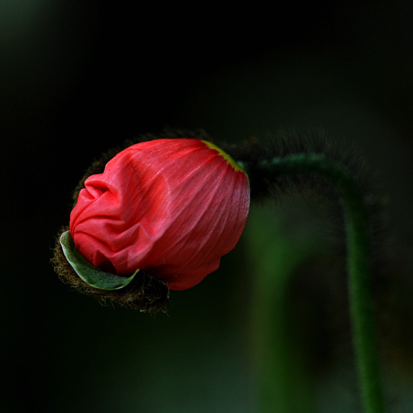 birth of a poppy by augenweide