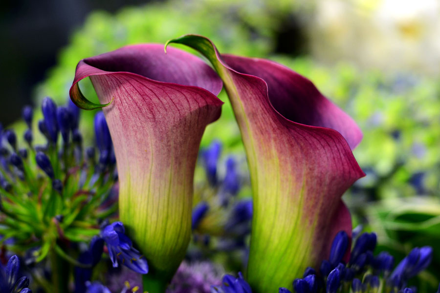 two callas by augenweide