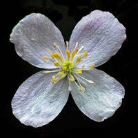 white blossom by augenweide