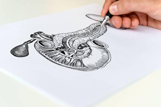Anatomie - Pancreas