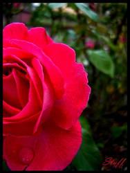 Rose passion by StrawberryGlaze