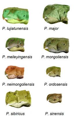 8 species of Psittacosaurus