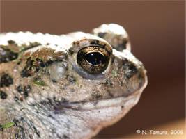 Western Toad II