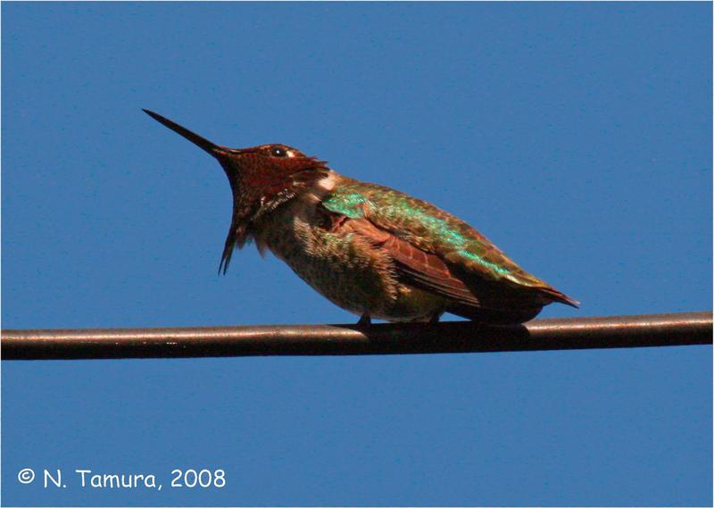 Anna's Hummingbird by NTamura