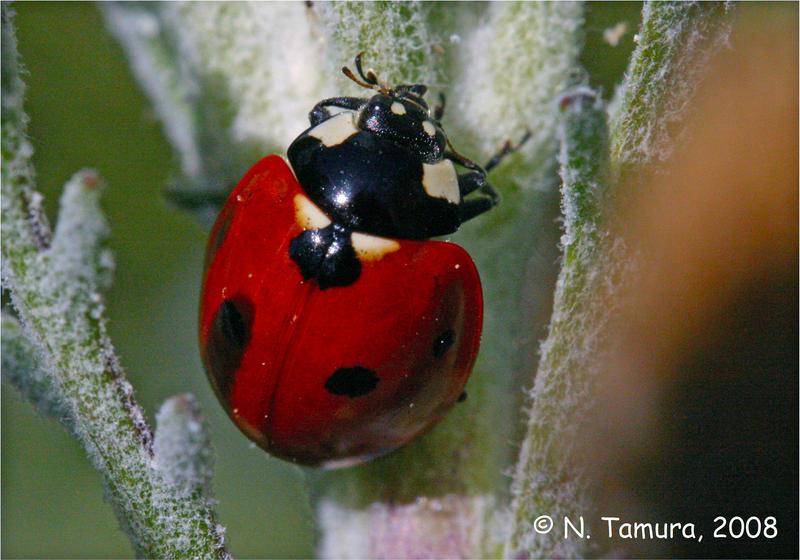 Ladybug by NTamura