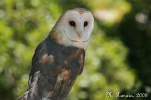 Barn owl II by NTamura