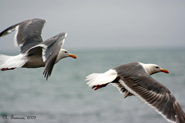 Flying gulls by NTamura