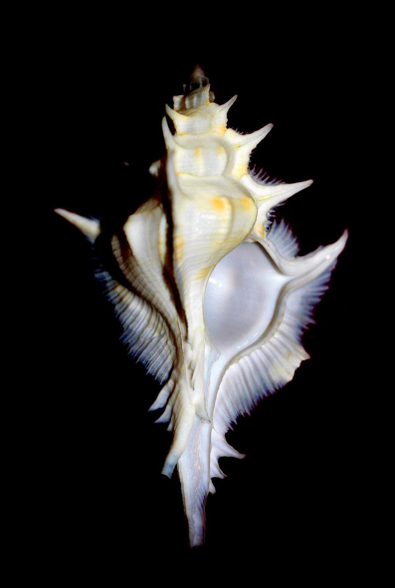 Siratus alabaster