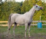 Arabian Grace