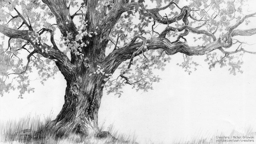 The gallery for gt white oak tree drawing