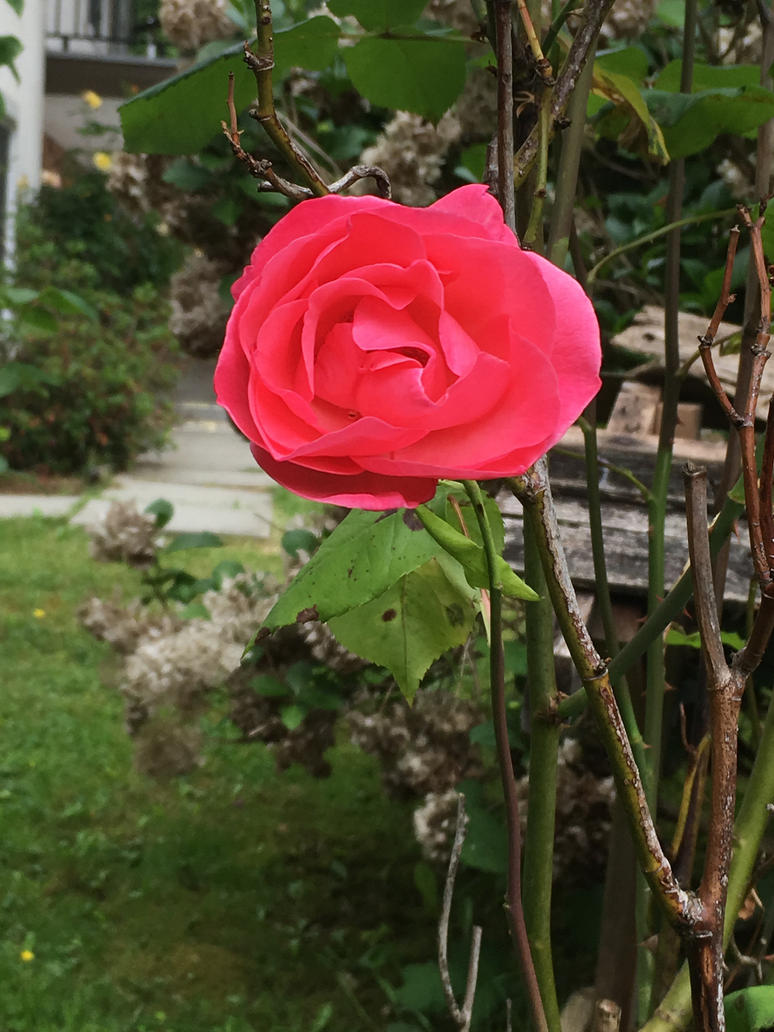 A Rose in the Garden #2 by Gwidhw