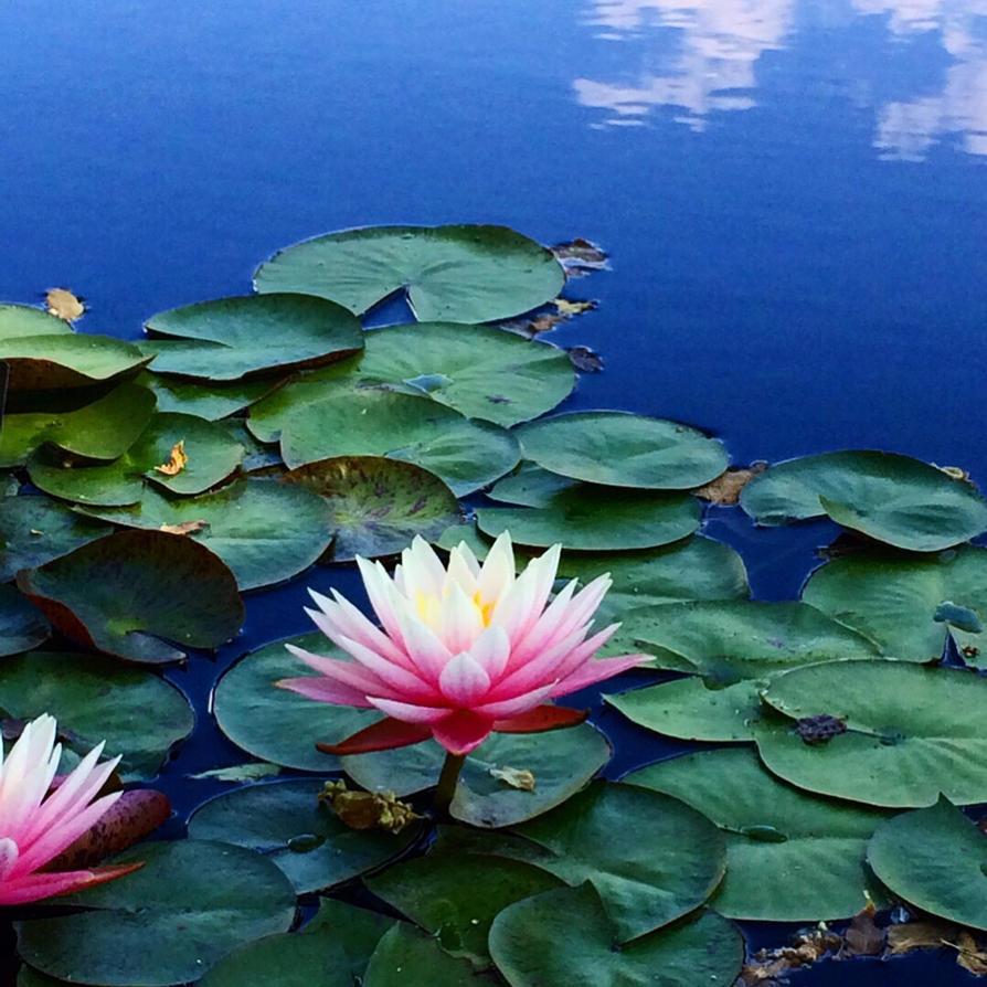 Lotus Flower By Rileysart On Deviantart