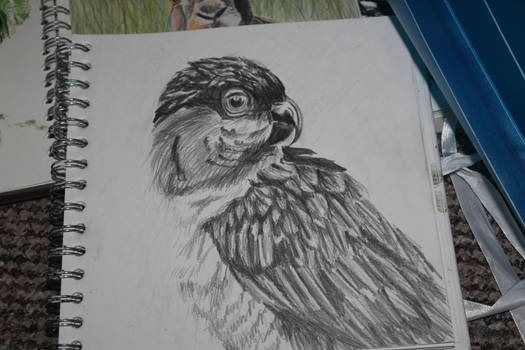 caique parrot sketch