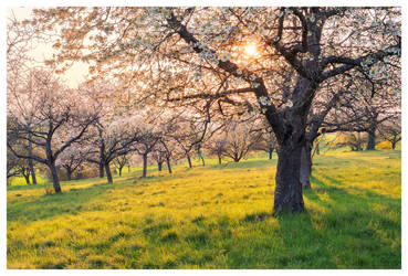 An Orchards Dream by SvenMueller
