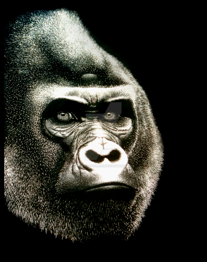 Gorilla by edwardpollick