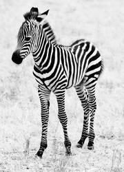 Baby Zebra II
