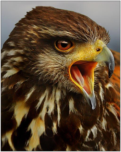 Hawk II by justinblackphotos