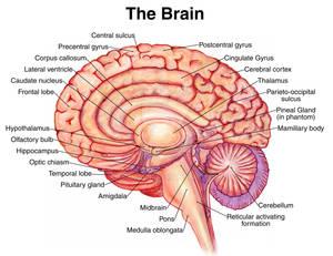 Medical Illustration The Brain