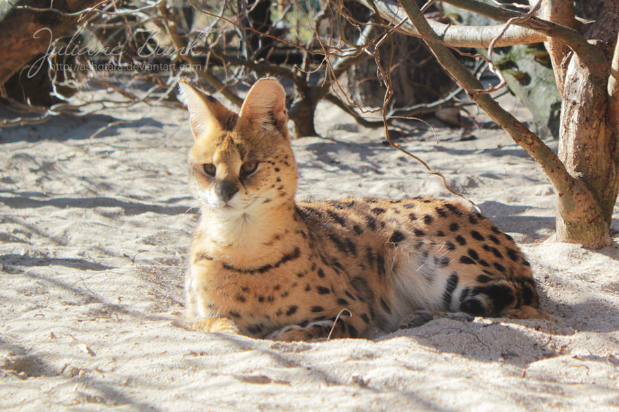 how to buy a serval