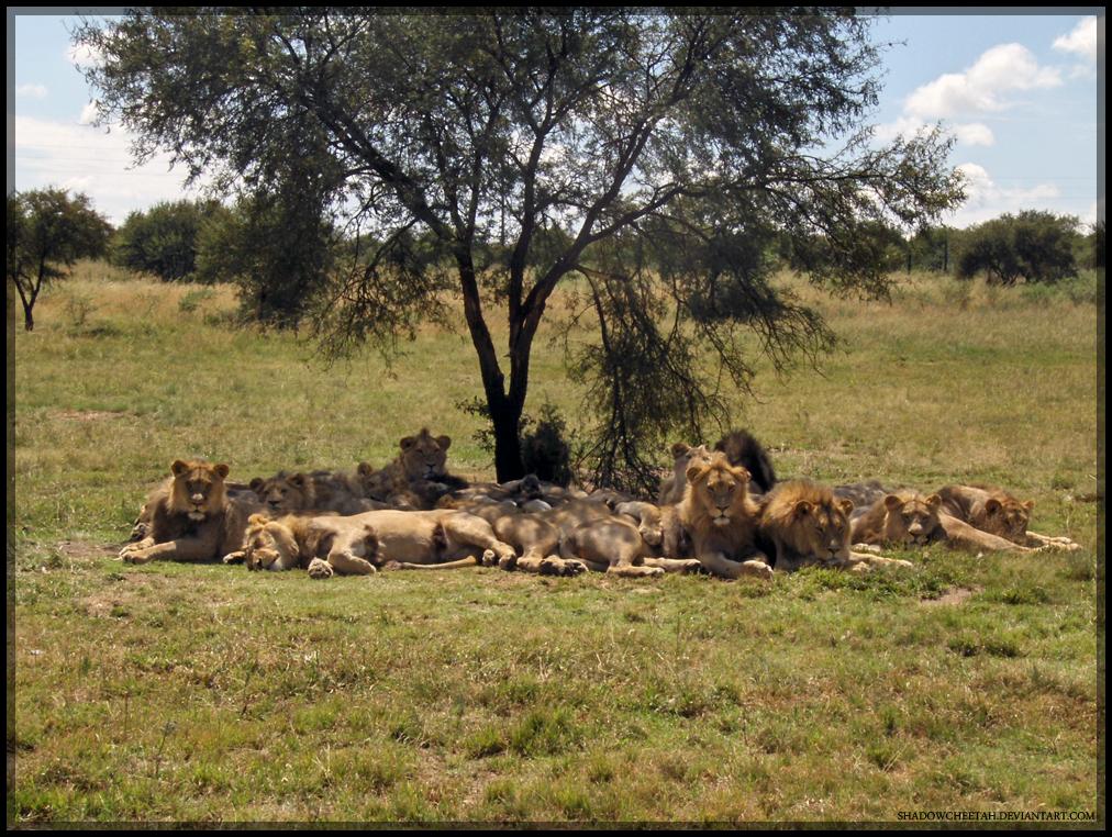 Just Lion Around by ShadowCheetah