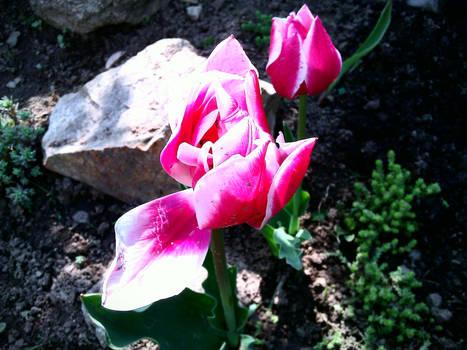 Beautiful tulip - Spring 2011