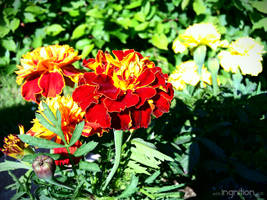 Orange flower - Spring 2011 by Ingnition