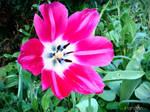 Blooming tulip - Spring 2011