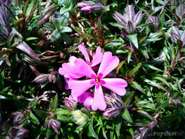 Spring Flower 2012 - 05 by Ingnition