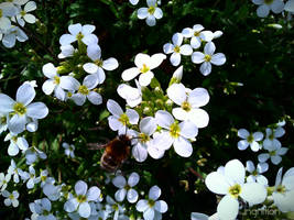 Spring Flower and Bee 2012 - 11 by Ingnition