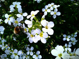 Spring Flower and Bee 2012 - 12 by Ingnition