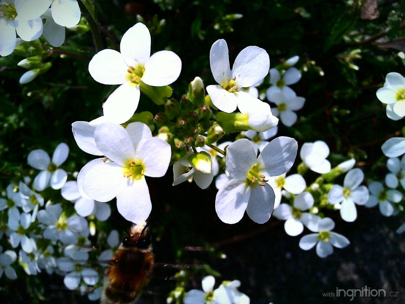 Spring Flower and Bee 2012 - 14 by Ingnition