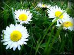 Spring Flower 2012 - 16