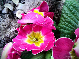 Spring Flower 2012 - 29 by Ingnition