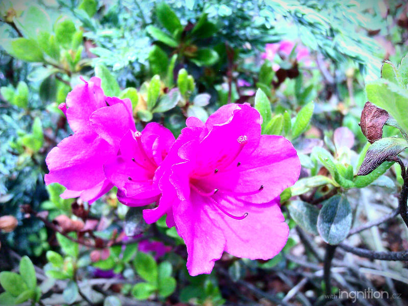 Spring Flower 2012 - 30 by Ingnition