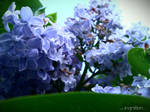 Spring Flower 2012 - 52